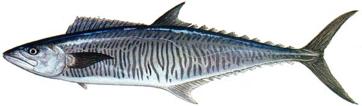 ปลาอินทรีย์บั้ง|1.png