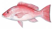 ปลากระพงแดง