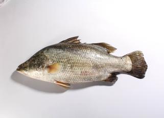 ปลากะพงขาว 3.png