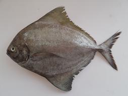 ปลาจาระเม็ดดำ|5.png