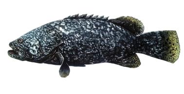 ปลาเก๋ามังกร|8.png