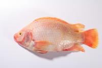 ปลาทับทิม