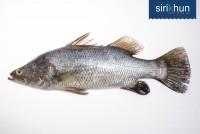 ปลากะพงขาว