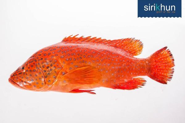 ปลาเก๋าแดง|เก๋าแสด เก๋าไฟ กระรังจุดฟ้า 1.jpg