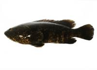 ปลาเก๋าดำ