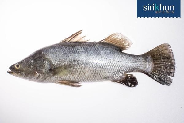 ปลากะพงขาว|กะพงขาว 3.jpg