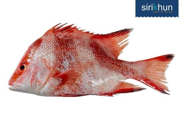 ปลากระพงแดงหน้าตั้ง|กะพงหน้าตั้ง .jpg