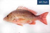 ปลากระพงแดงหน้าจวด