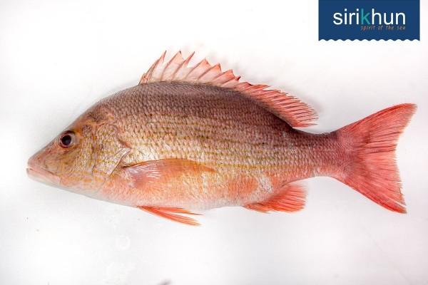 ปลากระพงแดงหน้าจวด|จวดแดง .jpg