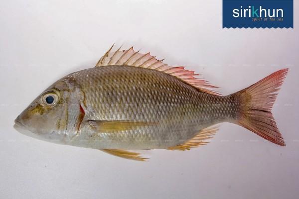 ปลาตะมะ|ตะมะ .jpg