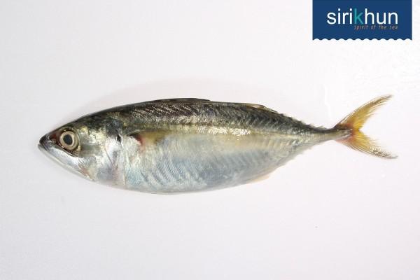 ปลาทูแท้ ปลาสั้นหน้าอ่าว|ปลาทู.jpg