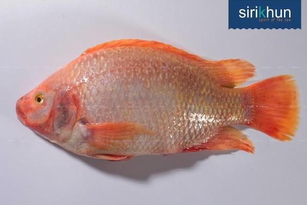 ปลาทับทิม|ปลาทับทิม .jpg