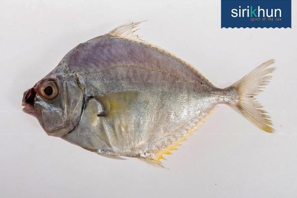ปลาแป้น|ปลาแป้น .jpg