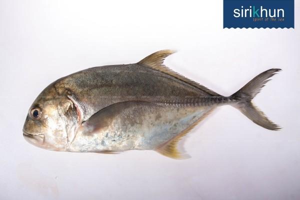 ปลากระมงพร้าว|ปลามง.jpg