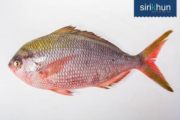 ปลาสายรุ้ง เจี๊ยะเส่ย|ปลาสายรุ้ง .jpg