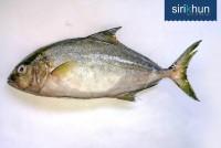 ปลาสำลีญี่ปุ่น