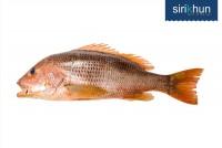 ปลากระพงแดงเขี้ยว