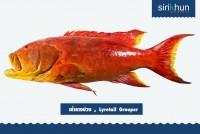 ปลาเก๋าแดงหางบ่วง