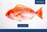 ปลากระพงหางบ่วง