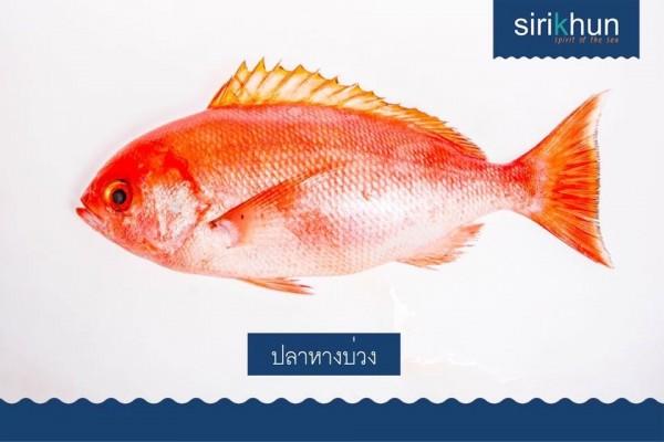 ปลากระพงหางบ่วง|IMG_1223.JPG