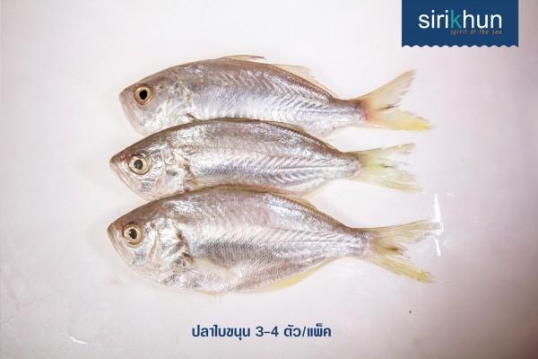 ปลาใบขนุน|สินค้า_๑๗๐๙๐๔_0009.jpg