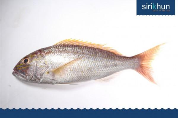 ปลาไท้ หัวลาย|IMG_1373.JPG