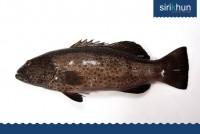 ปลากุสลาดเทียม