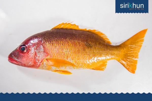 ปลากระพงเหลืองหน้าจวด|IMG_1410.JPG