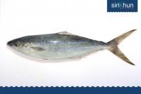 ปลาจรวด ไทยบุรี