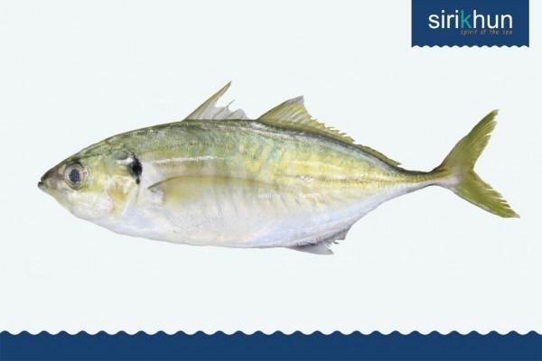 ปลาสีกุน|IMG_1422.JPG