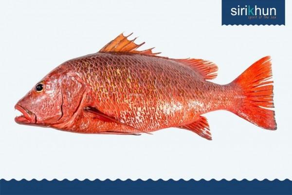 ปลาพงแดงเขี้ยว IMG_1428.JPG