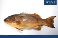 ปลาเก๋ากุสลาดออกส้ม