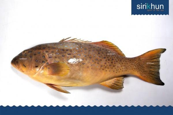 ปลาเก๋ากุสลาดออกส้ม|IMG_1442.JPG