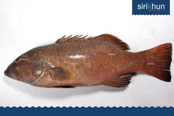 ปลาเก๋ากุสลาดออกส้มหม่น IMG_1441.JPG