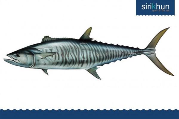 ปลาอินทรีย์บั้ง|IMG_1454.JPG