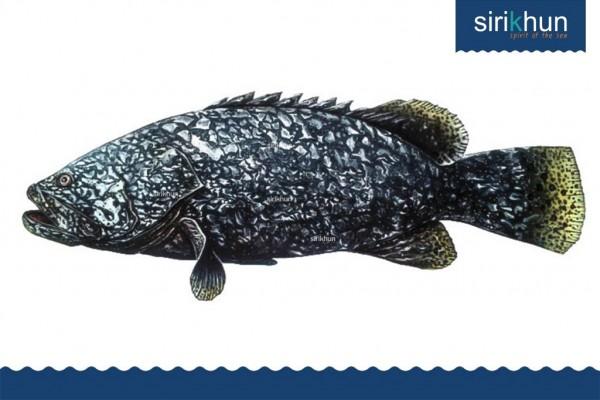 ปลาเก๋ามังกร|IMG_1453.JPG