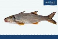ปลากุเลา