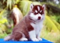 มีคนบอกว่าสุนัขไซบีเรียน ฮัสกี้ เลี้ยงยากจริงไหม