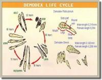 โรคขี้เรื้อนเปียก (Demodectic!Mange)