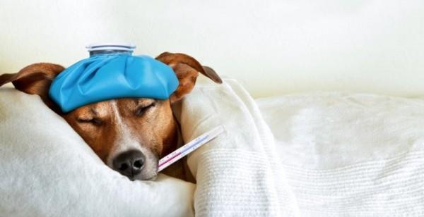 โรคพยาธิในเม็ดเลือด ในสุนัข ภัยเงียบที่ไม่ควรมองข้าม|204812-800x410-Sick-dog.jpg