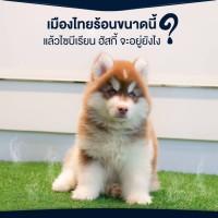 เมืองไทยร้อนขนาดนี้แล้วไซบีเรียนฮัสกี้ จะอยู่ได้ไหม??