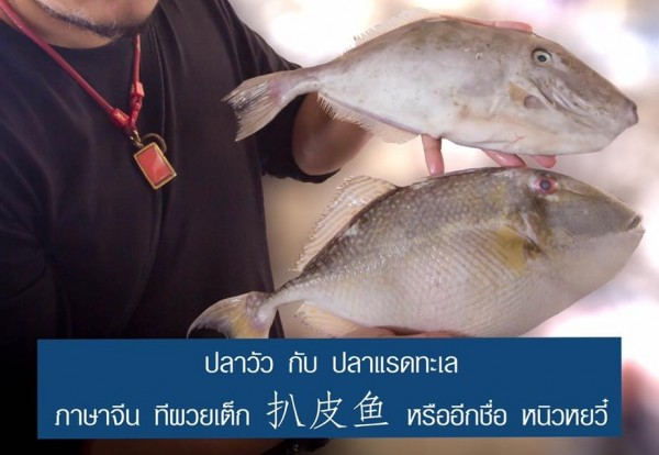 ปลาวัวกับปลาแรดทะเล|15230798_718617428292955_781831562662575239_n.jpg