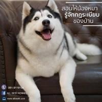 ก่อนจะพาไซบีเรียนฮัสกี้ เข้าบ้านสอนให้น้องหมารู้จักกฏระเบียบต่างๆ ภายในบ้าน