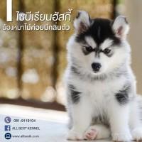 ไซบีเรียนฮัสกี้ เป็นน้องหมาที่ไม่มีกลิ่นตัว