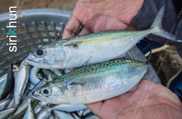 คนกรุงเรียกปลาทู คนทะเลเรียกปลาลัง|15697947_734518120036219_6168490298565045093_n.jpg